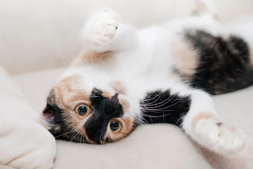 happy and playful calico cat