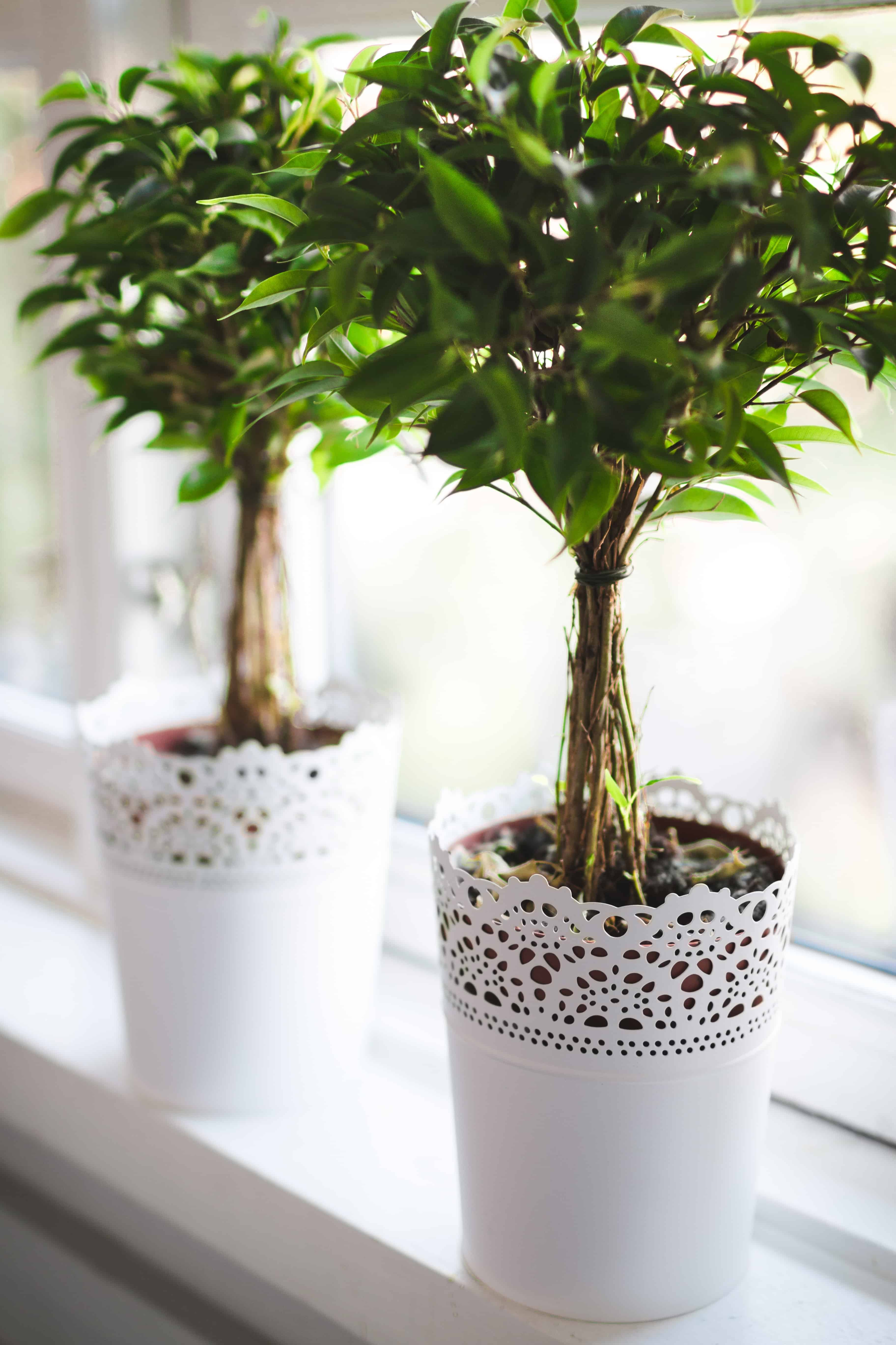 two small ficus trees in white lace planters