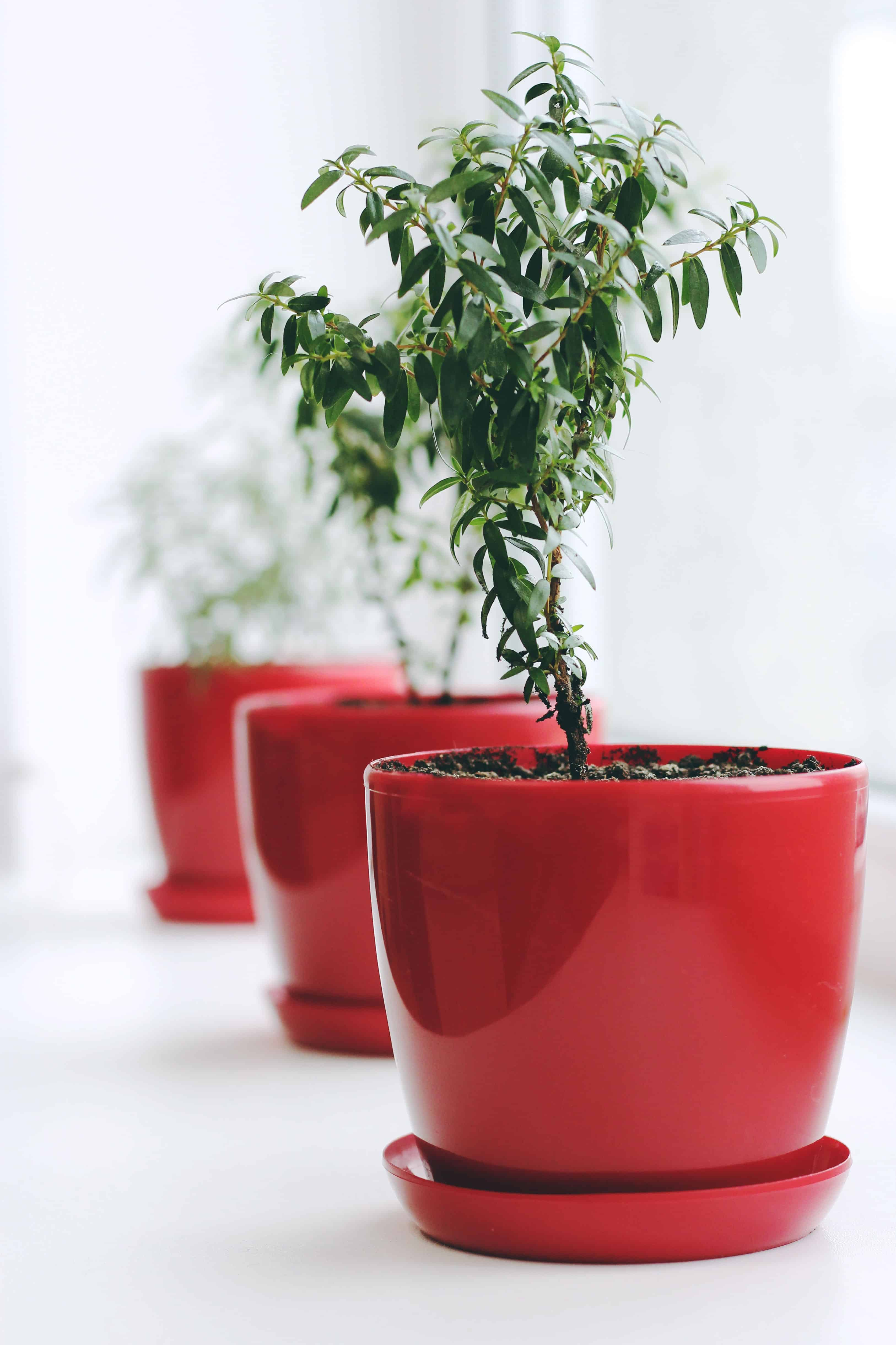 row of small trees in red planters