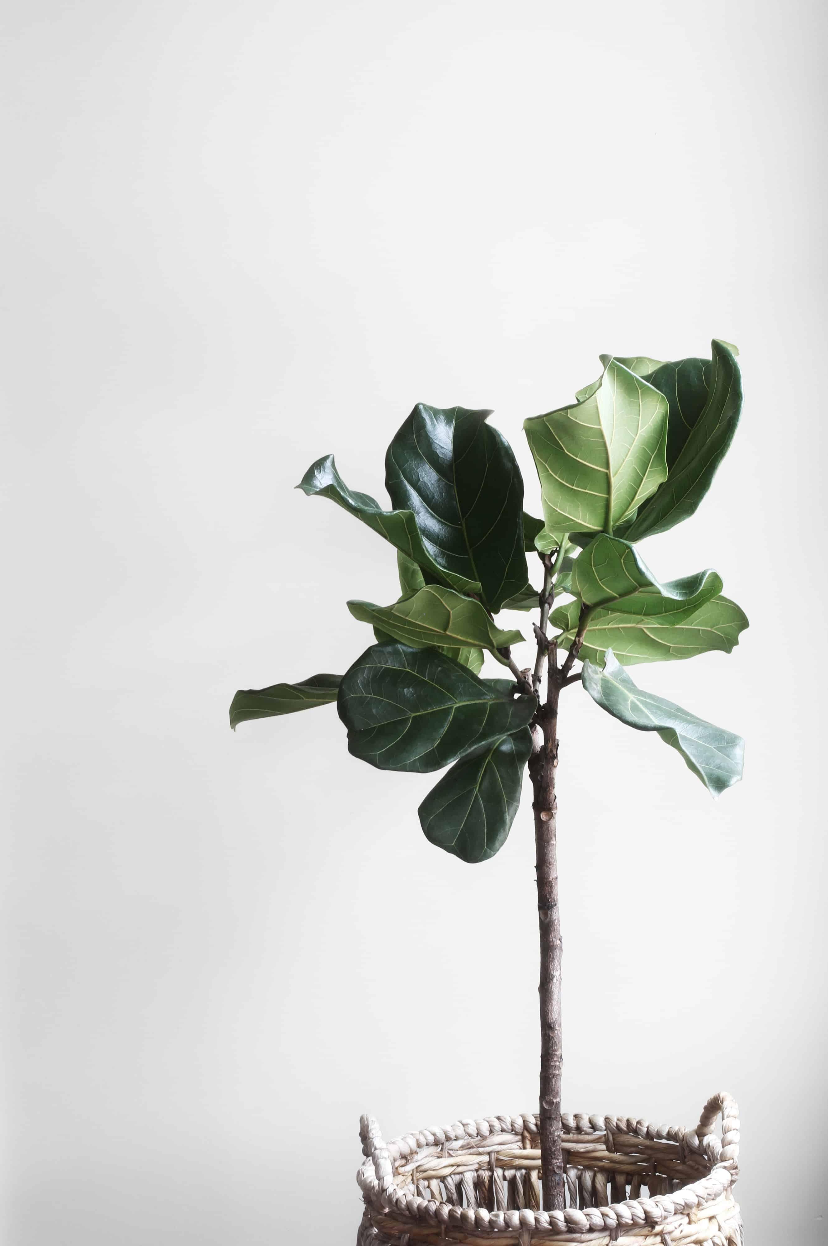 tall fiddle leaf fern in a basket