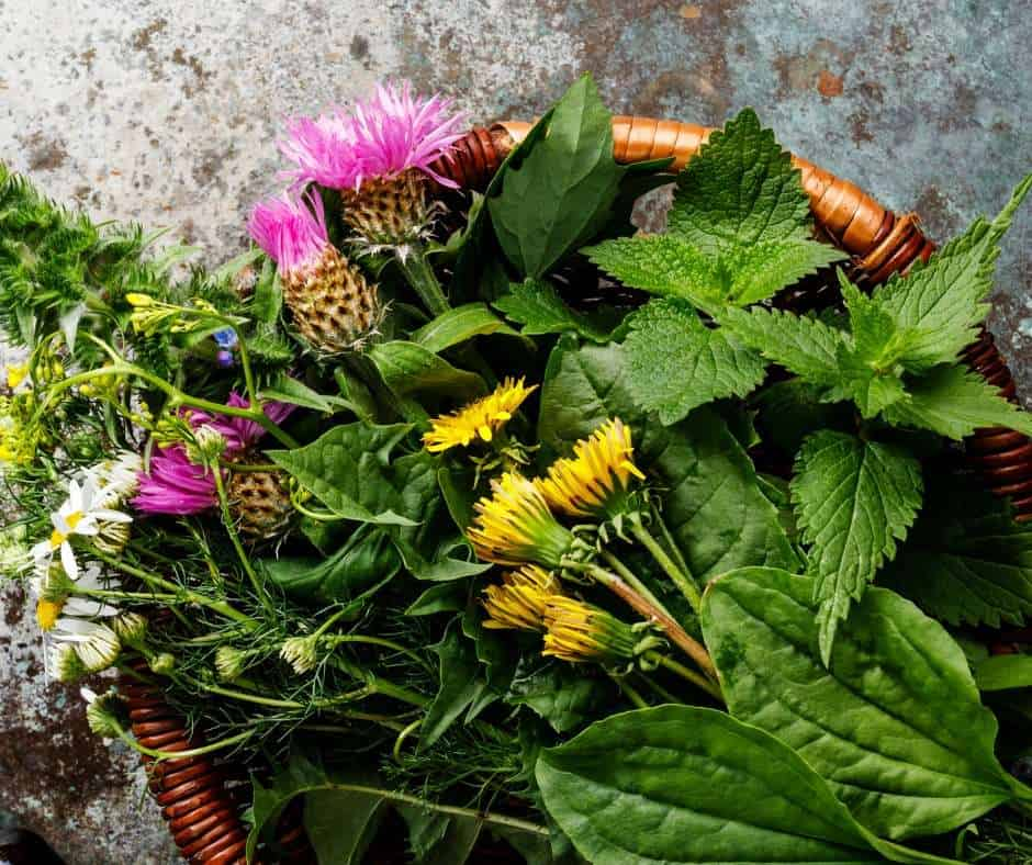 collection of edible and medicinal weeds