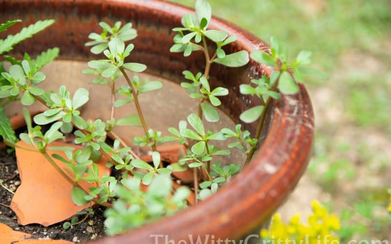Turn the Table on Weeds – Eat Them!