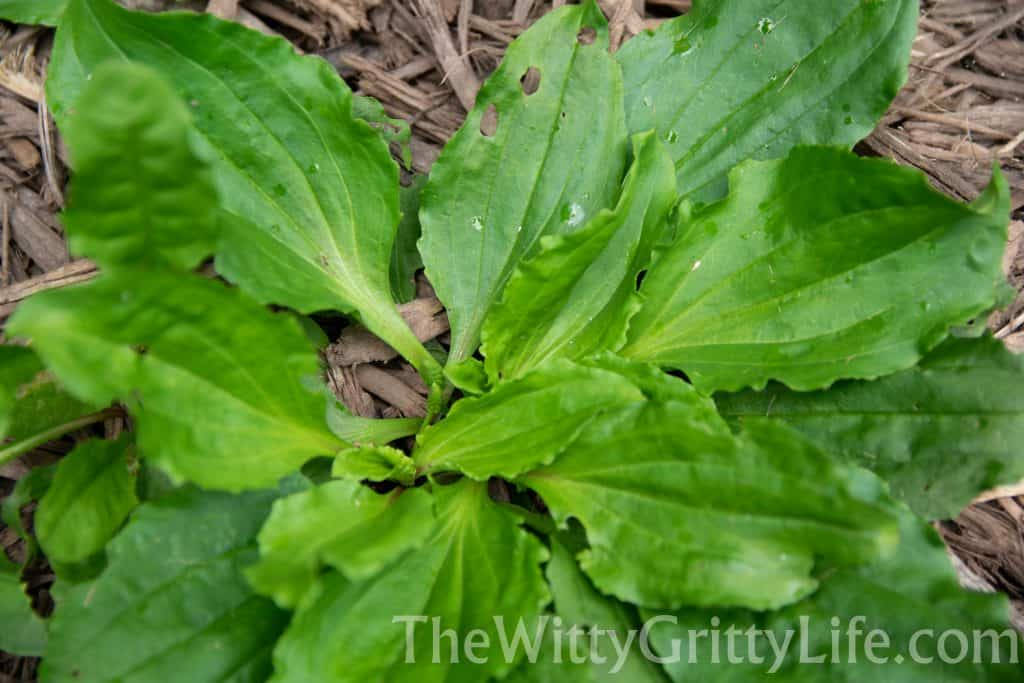 plantain leaf plant