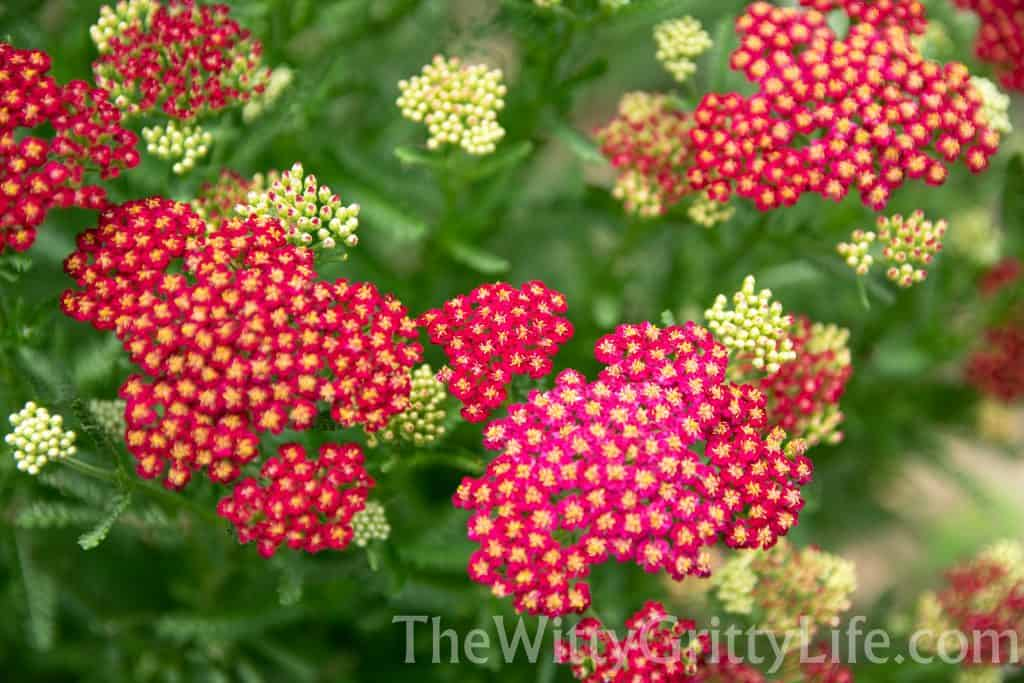 red yarrow plant in bloom