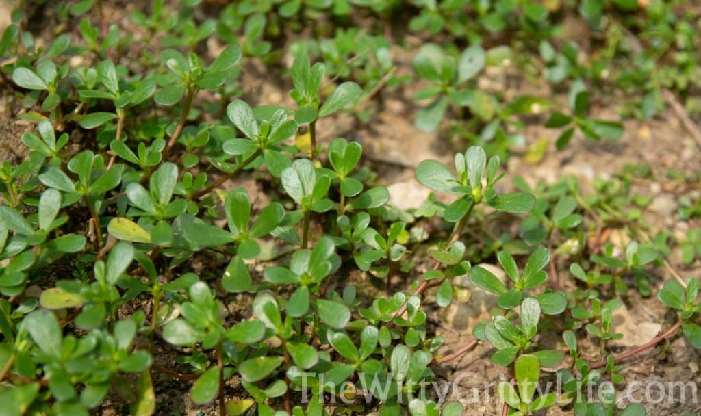 patch of purslane