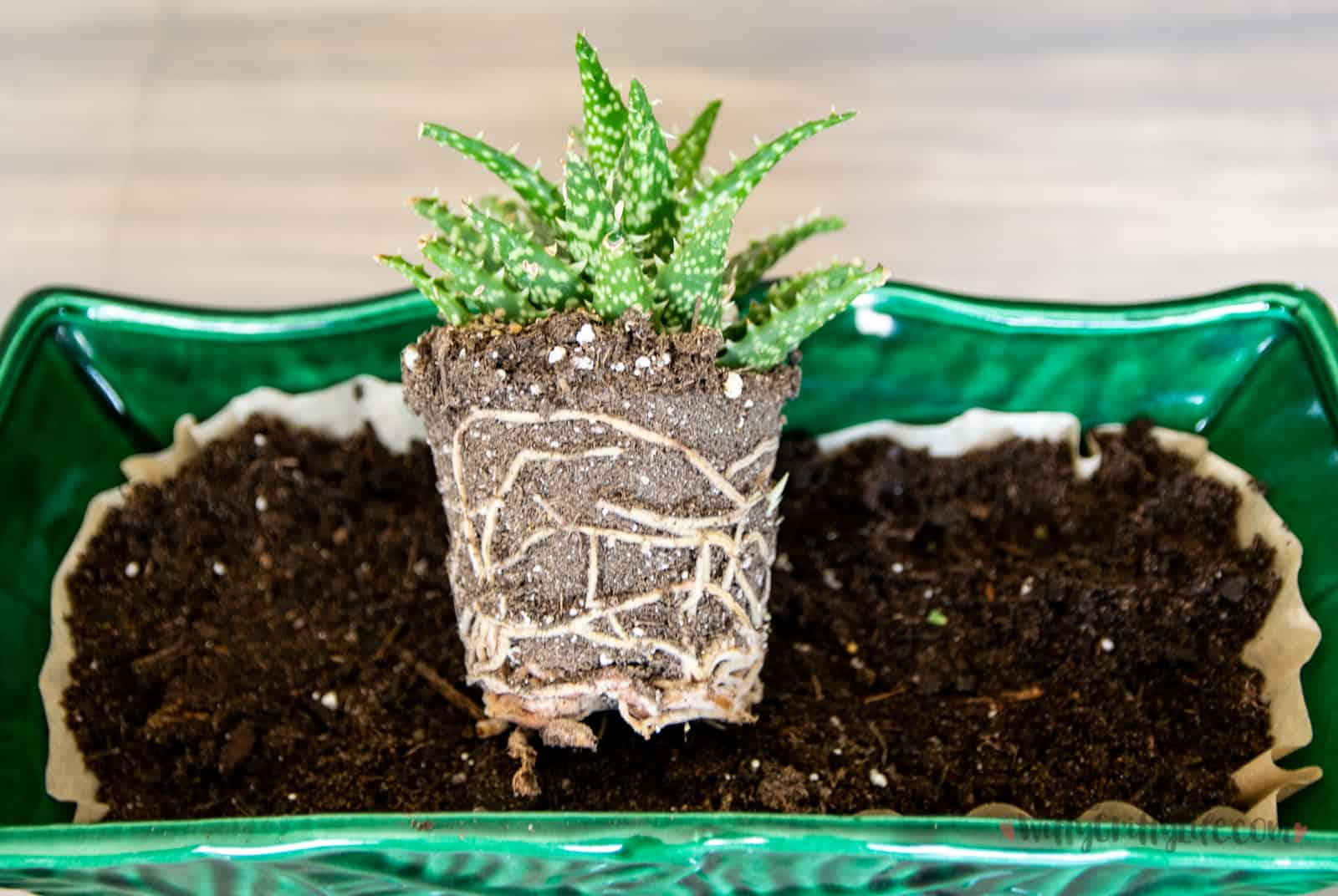 plant in planter, ready for planting